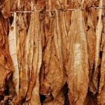 Tabacco flue cured